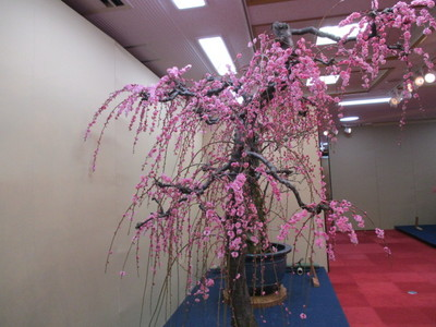 19長浜盆梅展 (40).JPG